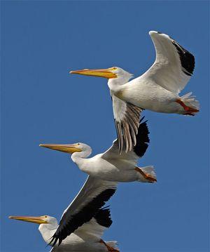 White-Pelicans-3