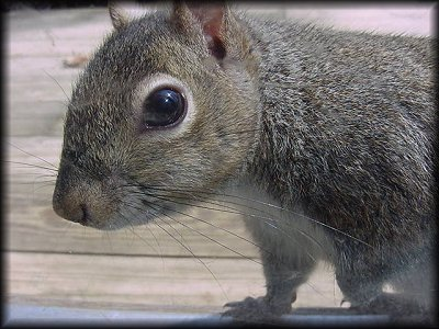 Squirrelclose