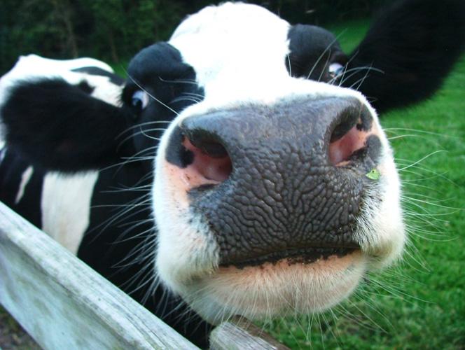 cows ile ilgili görsel sonucu