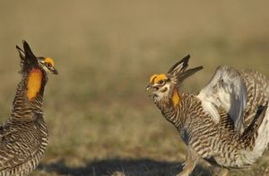 Prairie chickens fightingiStock_000004868480Medium