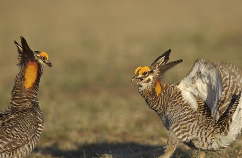 Prairie chickens fightingiStock_000004868480Medium