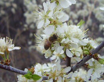 Bee-pollinating-apple-blossoms