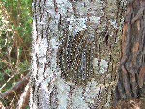 ForestTentCaterpillars005
