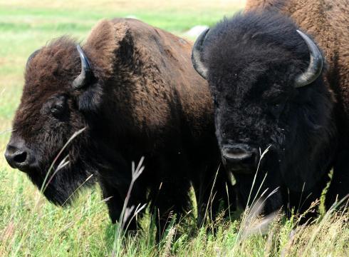 Ted-Roosevelt-V-Make-Bison-national-mammal-DN25TBG3-x-large