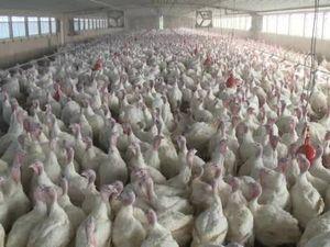 TurkeyFarm