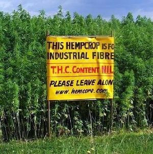 Hemp-crop-photo