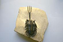 220px-Trilobite_Walliserops_trifurcatus