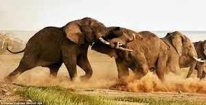 Elephantfight