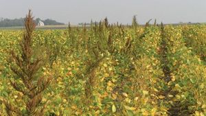 Field-waterhemp (1)