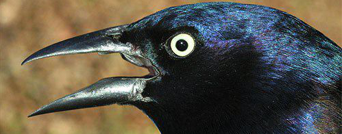 GrackleCommonM02