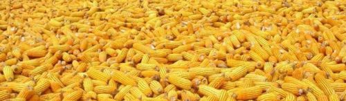 Dried-Yellow-Corn-Maize-for-animal-feeds