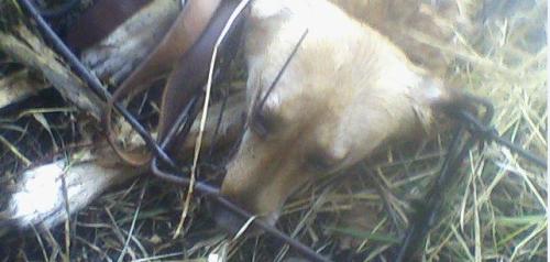 Dogkilledinbodygriptrapconibear