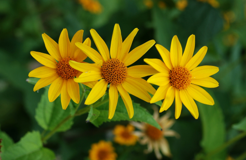 Heliopsis_July_2011-2