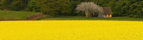 Fields-of-gold-66177