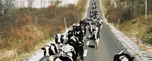 Cowscomehome