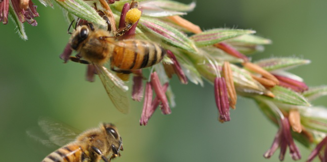 Beesoncorn