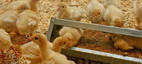 Turkey_Production_-_Poults