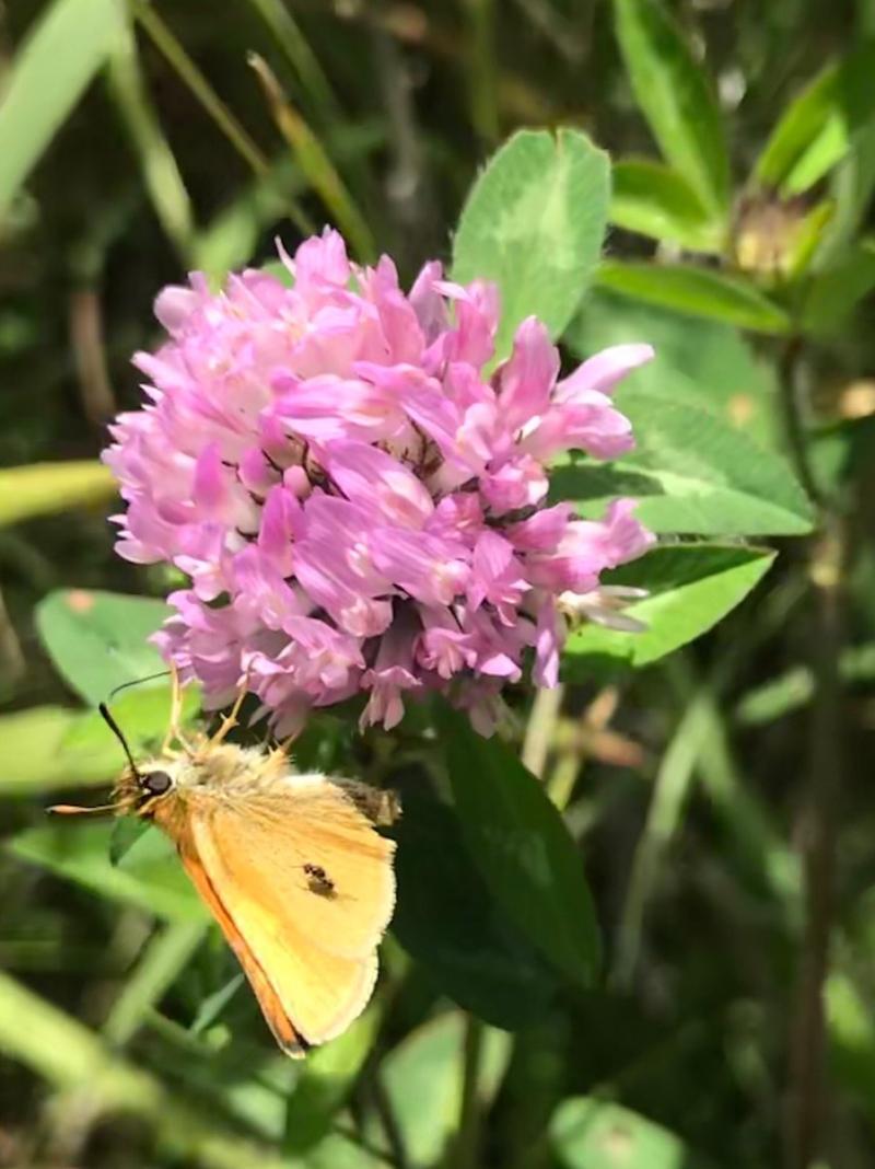 Butterflyclover