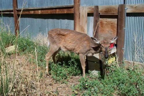 Deer1_tkreeger