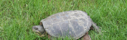 18June2013.CommonSnappingTurtle3-700x220