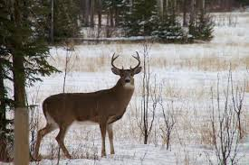 Whitetailhealthy