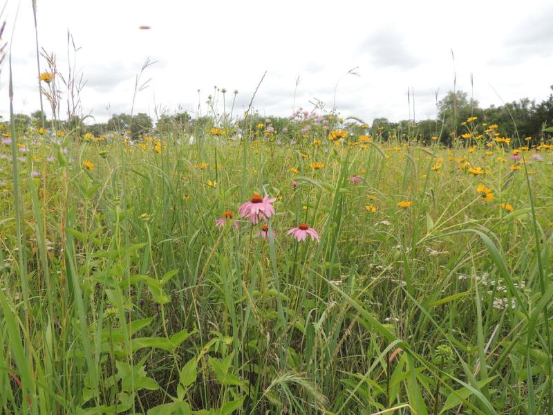Pheasant_grassland_habitat1
