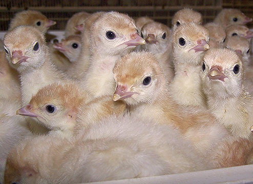 Turkey-poults