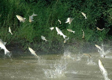 Invasiveflyingcarp