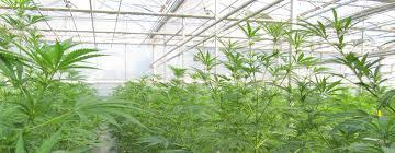 Cannabisgreenhouse
