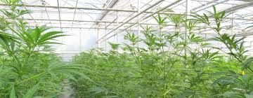 Cannabisgreenhouse