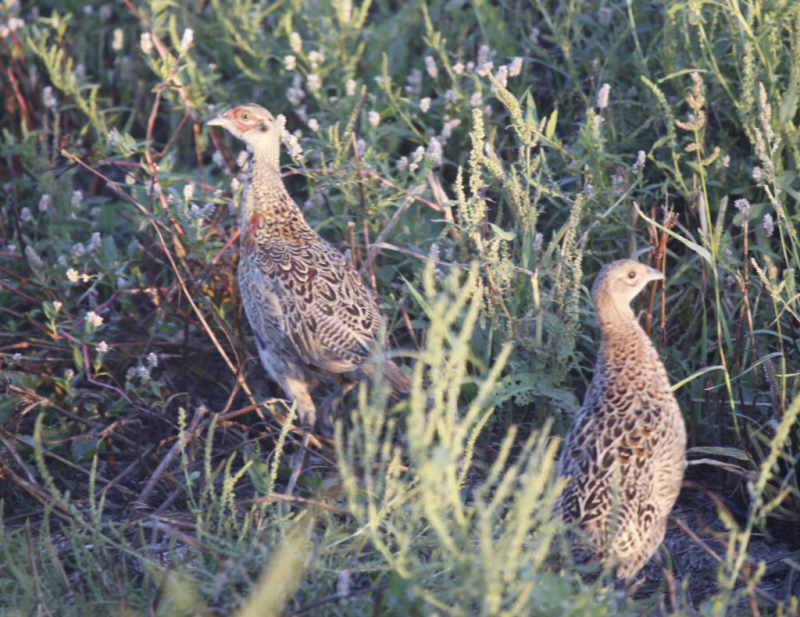 Young-pheasants-Mitchell-Repub-1024x790