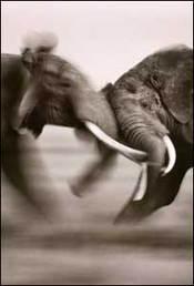 Elephantfight